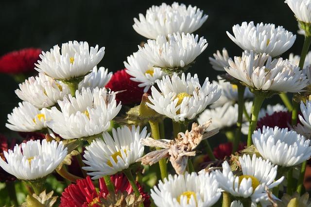 Daisies, Garden, Flowers, White, Spring, Nature, Plant