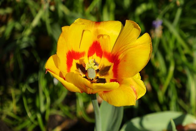 Flower, Nature, Plant, Garden, Spring, Tulip, Yellow
