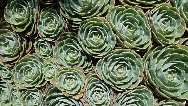 Succulent, Plant, Sleeve, Green