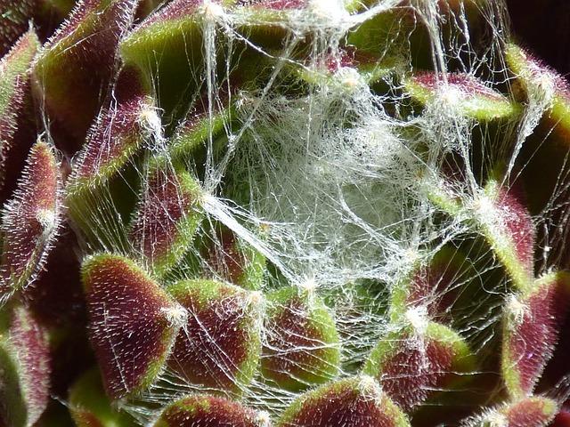 Plant, Succulent, Joubarde Spider Web