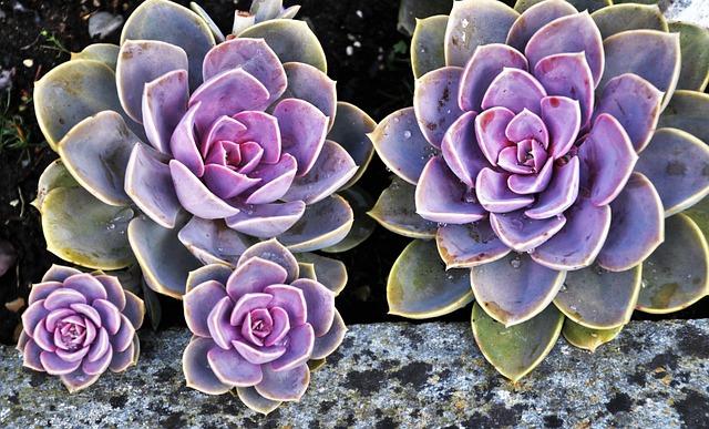 Succulents, Decorative, Plant, Nature, Gorgeous, Rock