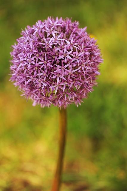 Nature, Flower, Plant, Summer, Allium, Ornamental Onion