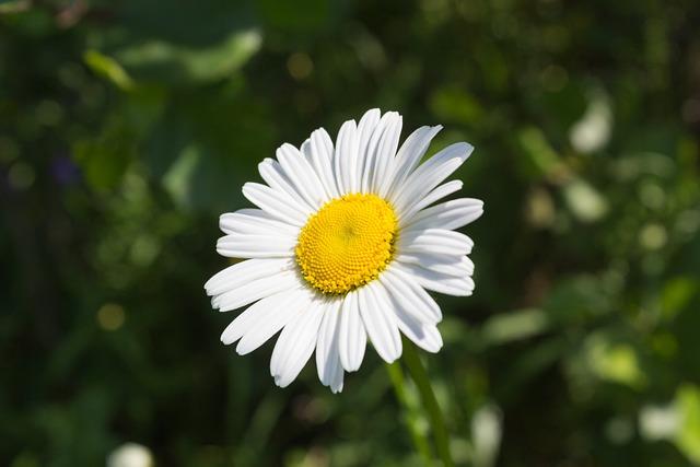 Nature, Plant, Flower, Summer, Garden, Daisy, Bright