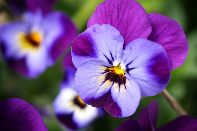 Violet, Flower, Nature, Plant, Garden, Summer, Flowers