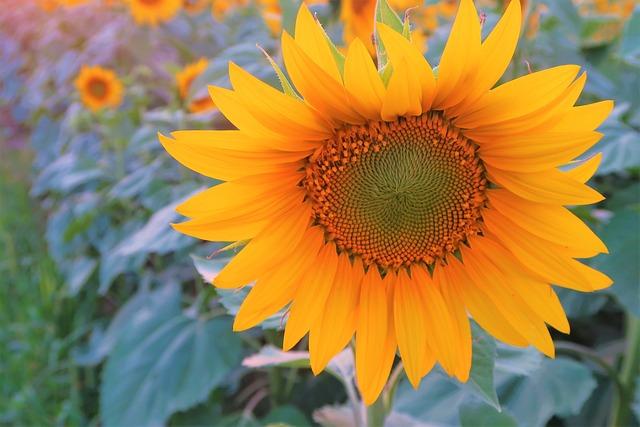 Flower, Sunflower, Plant, Yellow, Summer, Nature