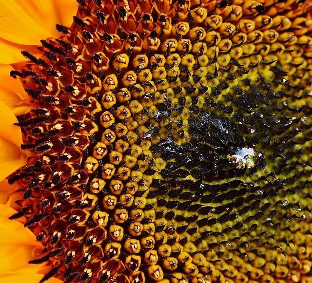 Sun Flower, Sunflower Seeds, Summer, Plant, Flowers