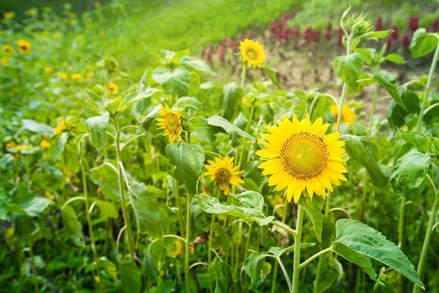 Garden, Sunflower, Plant