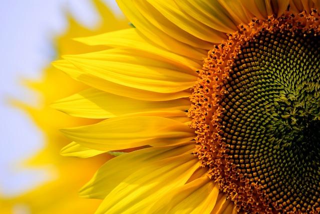 Sunflower, Nature, Plant, Flower, Summer, Petal