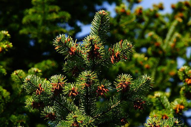 Pine, Needles, Tap, Periwinkle, Branch, Conifer, Plant