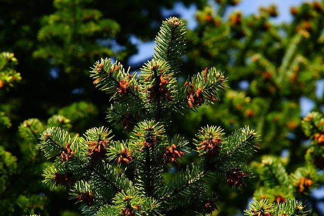 Pine, Needles, Tap, Periwinkle, Branch, Conifer, Plant