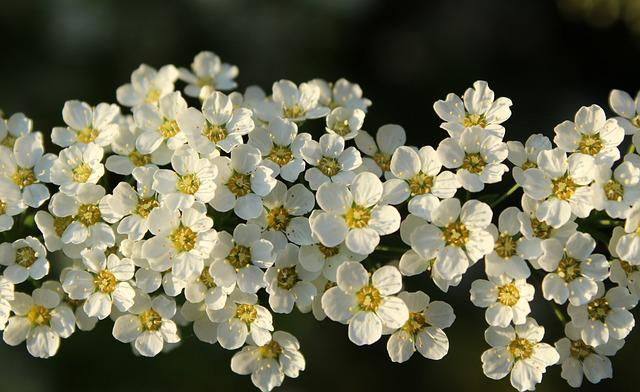 Tawuła, White Flowers, Spring, Bush, Plant, Nature