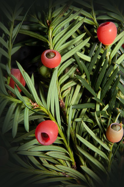 Yew, Taxus, Plant, Bush, Periwinkle, Yew Family