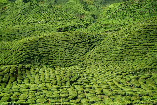 Tea, Garden, Field, Green, Landscape, Plant, Tiny Tree