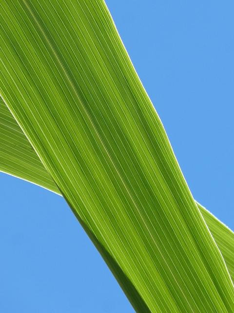 Leaf, American Cane, Plant Texture, Sky, Lines