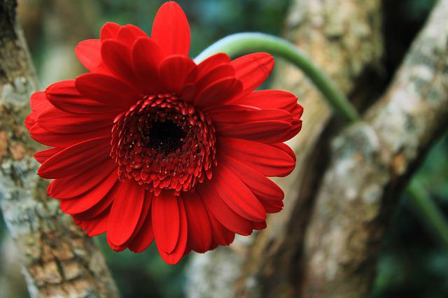 Gerbera, Daisy, Flower, Tree, Nature, Plant, Color, Red