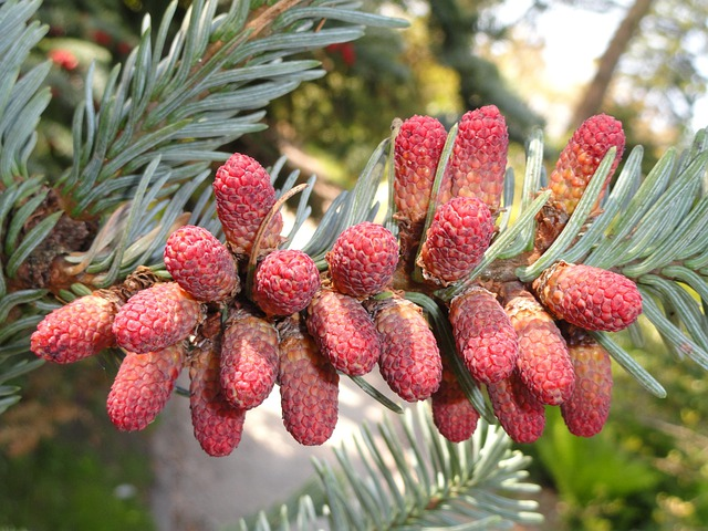 Abies Procera, Plant, Flower, Tree, Branch, Cones