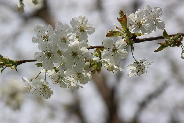 Flower, Cherry, Branch, Tree, Plant, Spring