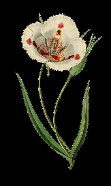 Tulip, Flower, Plant, Blossom, Bloom, Vintage, Isolated