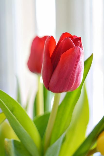 Tulip, Nature, Plant, Flower