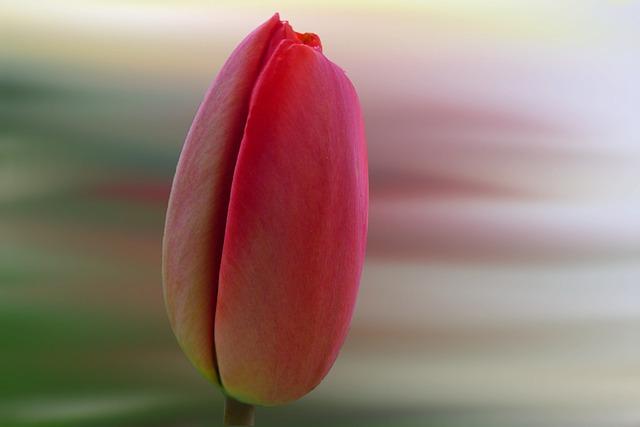 Nature, Flower, Tulip, Plant