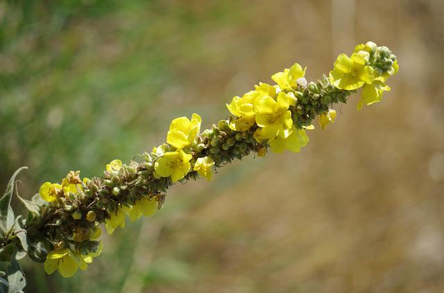 Verbascum Densiflorum, Drugs, Plant, Meadow Flowers