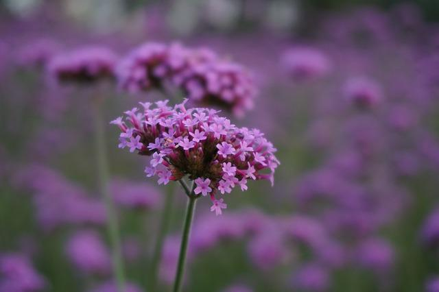 Verbena, Plant, The Scenery
