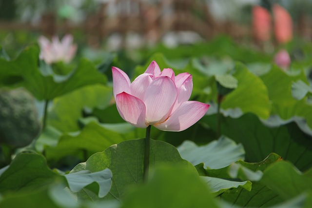 Water Lily, Plant, Scenery