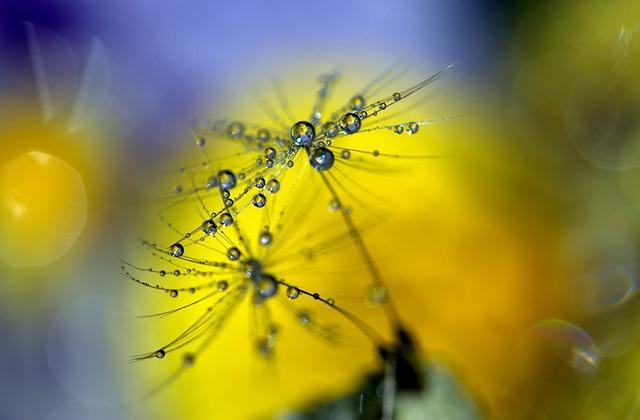 Dandelion, Drops, Wet, Macro, Plant, Water, Coloring