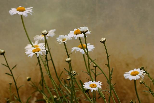 Daisy, Flower, White, Plant