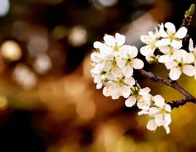 Spring, Flowers, White Flowers, Plum, Garden, Plant