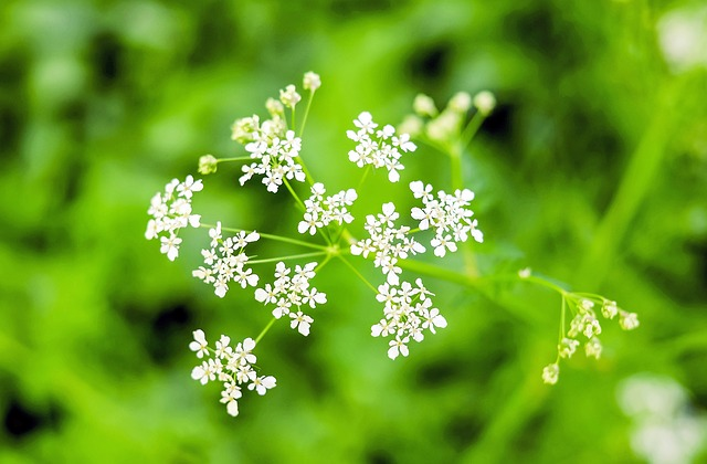 Umbelliferae, Giersch, Wild Vegetables, Plant, Weed