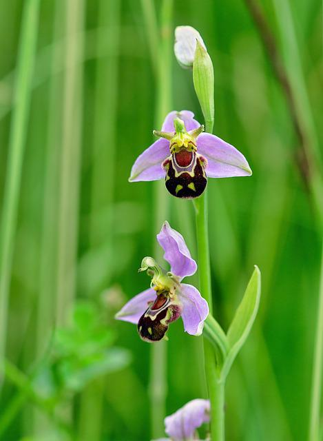Bee-orchid, Wildflower, Flora, Plant, Ophrys, Botany