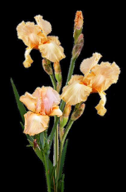 Irises, Yellow, Plant