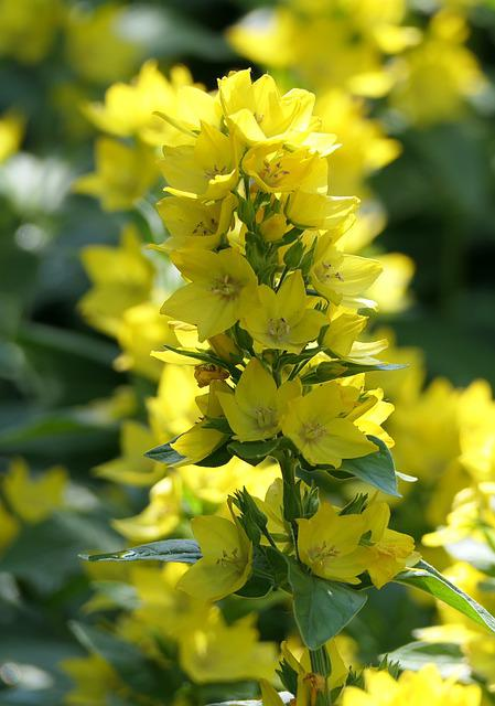 Yellow Loosestrife, Flowers, Plant, Dotted Loosestrife