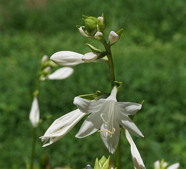 Plantain Lilies, Lily, Hosta, Flower, Blossom, Bloom