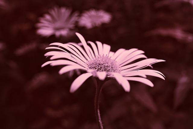 Plantain-leaved Leopard's Bane, Flower