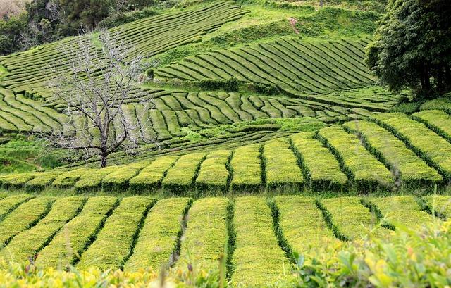 Teaföld, Green, Plantation, Tea, Landscape