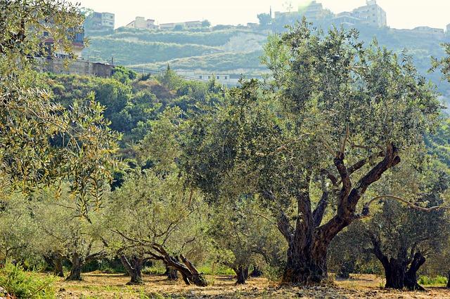 Olive Trees, Trees, Olive Grove, Plantation