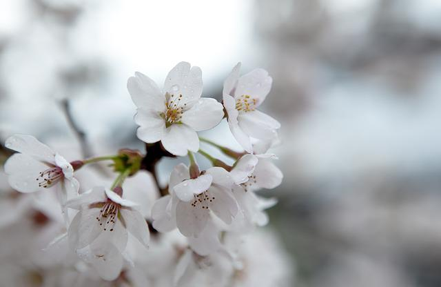 Cherry Blossom, Spring Flowers, Plants, Nature