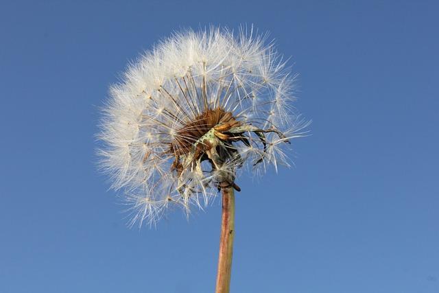 Dandelion, Sun, Plants, Dandelions, Flower, Nature