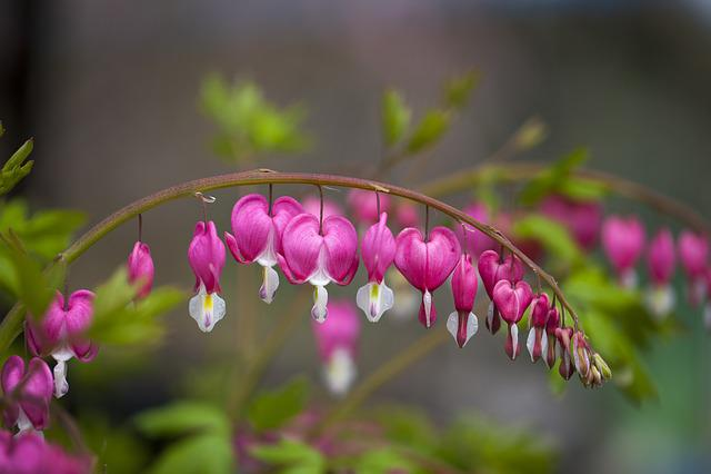 Nature, Flowers, Plants, Garden, Leaf, Bleeding Heart
