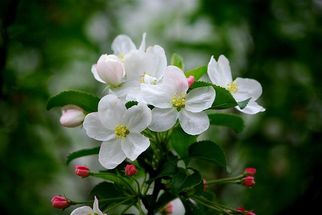 Flowers, Nature, Plants, Garden, Leaf, Apple Blossoms