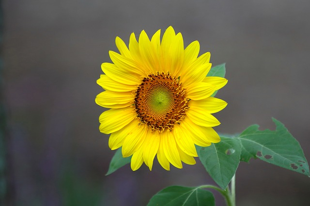 Nature, Plants, Summer, Leaf, Flowers, Sunflower