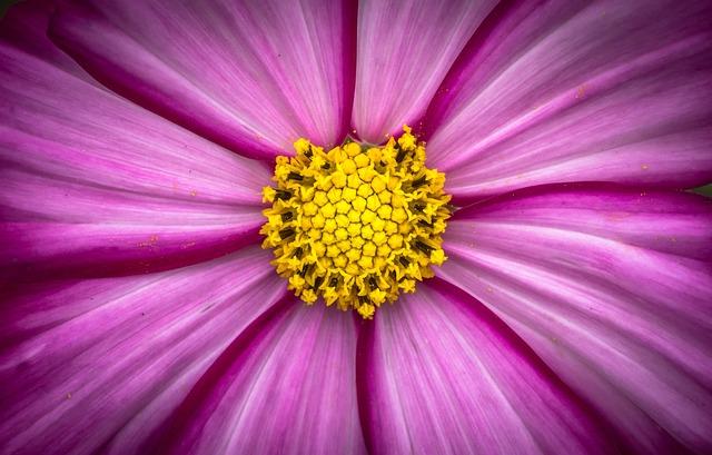 Cosmos, Plants, Flowers, Purple, Garden, Beautiful