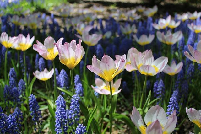 Tulips, Netherlands, Flower, Garden, Nature, Plants