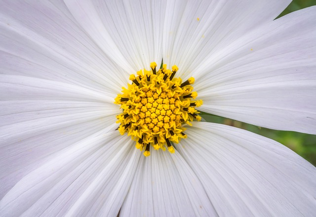 Cosmos, Plants, Flowers, White, Garden, Beautiful