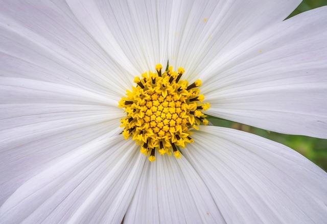 Cosmos, Plants, Flowers, White, Garden, Beautiful
