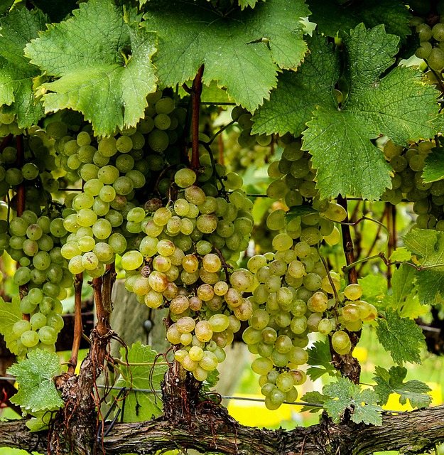 Grapes, Green, Vines, Plants, Bunch, Fruits, Leaves