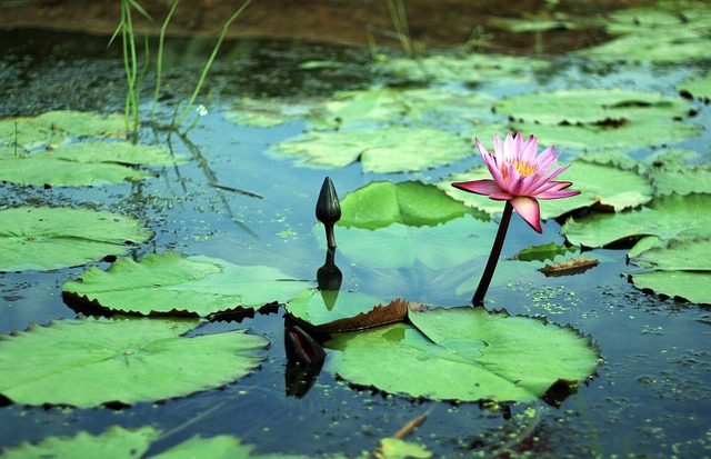 Gwangokji, Lotus, Flowers, Hongryeon, Plants, Chastity