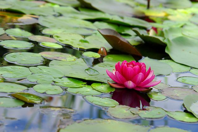 Lily, Flowers, Lotus, Leaf, Plants, Water Lilies